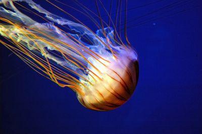 Blue Jellyfish In Deep Blue Water Aurelia Aurita