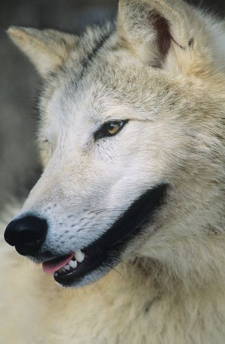 Wolf Close Up Of Head