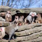Monkey Family Hamadryas Baboon