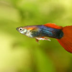 A Male Guppy Poecilia Reticulata A Popular Freshwater Aquarium Fish