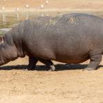 Big Hippopotamus Near Lake