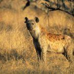 Spotted Hyena Crocuta Cocuta Standing On Savannah