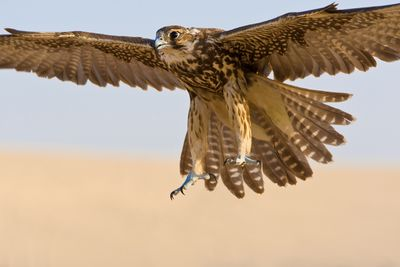 A Falcon Coming For The Kill Shot In A Middle Eastern Desert Location