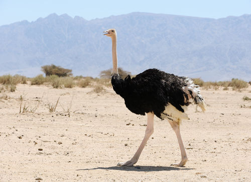 African Ostrich In The Reserve Hai Bar Yotvata In Southern Israel