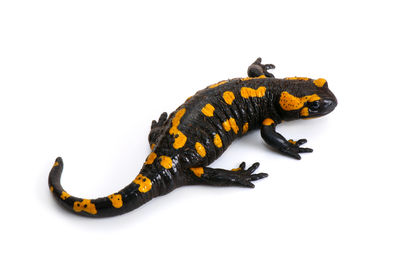 Fire Salamander Salamandra Salamandra Salamandra Maculosa On A White Background