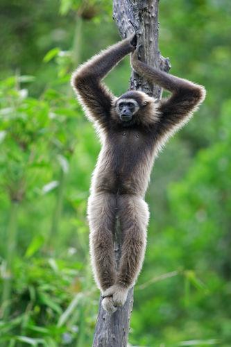 Gibbon Monkey In Kota Kinabalu Borneo Malaysia