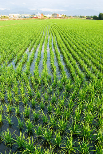 Green Field Asia Paddy Field