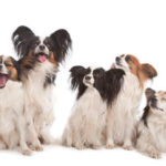 Group Of Five Papillon Dogs Group Of Five Papillon Dogs In Front Of A White Background