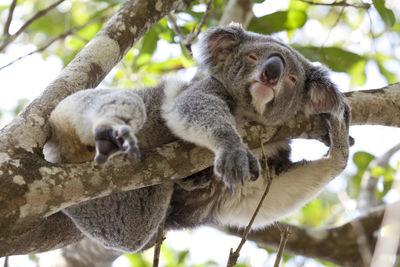 Koala Relaxing In A Tree Queensland Australia