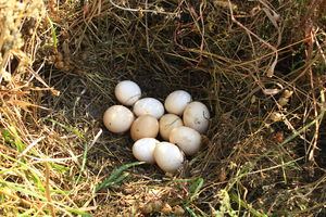 Nest Of The Hen With Ten Eggs Nest Of The Hen With Ten Eggs On The Hay