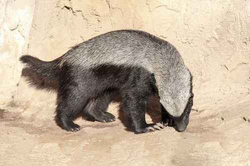 One Honey Badger Smelling The Stone Floor