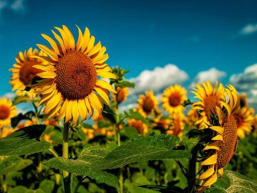 Sunflowers Field Under Golden Summer Sun