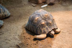 Turtle Walking Slowly Across The Field