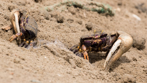 Two Male Fiddler Crabs Digging Themselves Out Of The Sand