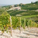 Vineyards In Summer Season Langhe Hills Piedmont North Italy Europe