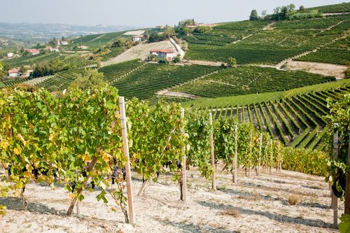 Vineyards In Summer Season Langhe Hills Piedmont North Italy Europe