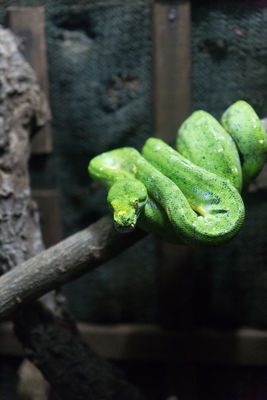 Young Green Tree Python Snake On Branch