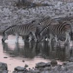 Zebras At Waterhole Etosha Namibia